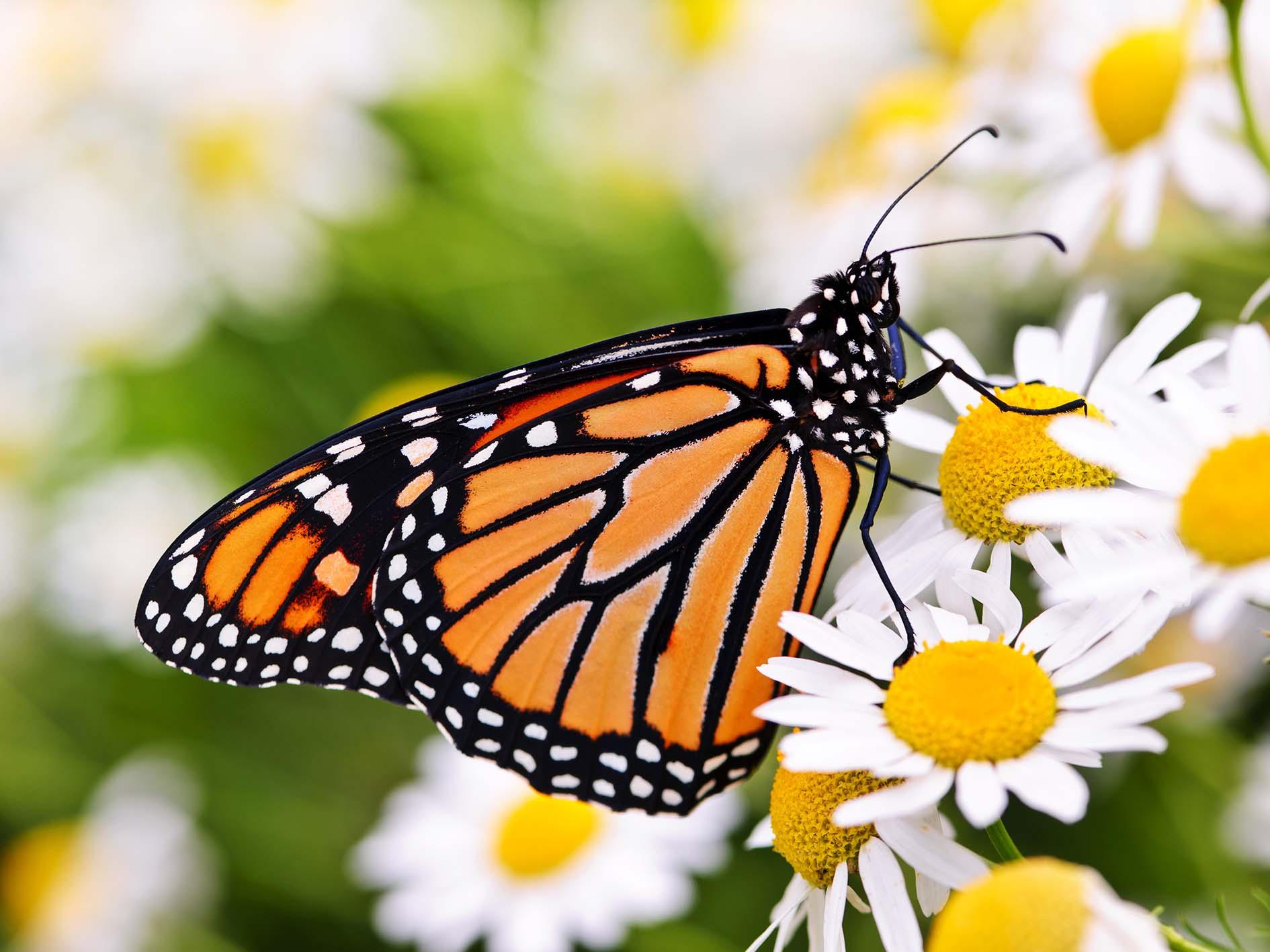Biene, Schmetterling & Co.